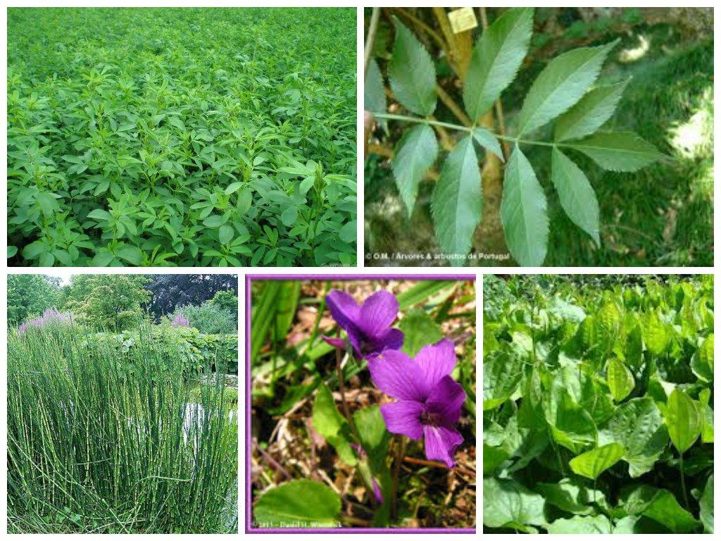 Emagrecer com plantas medicinais 1