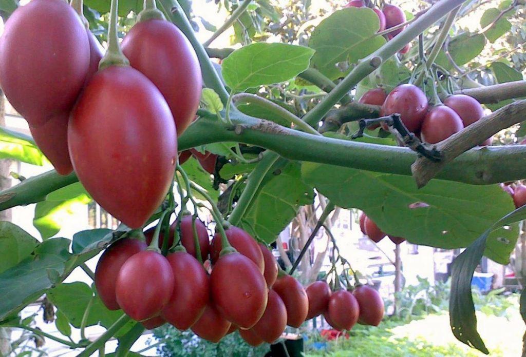 Benefícios do tomate de árvore -tamarilho