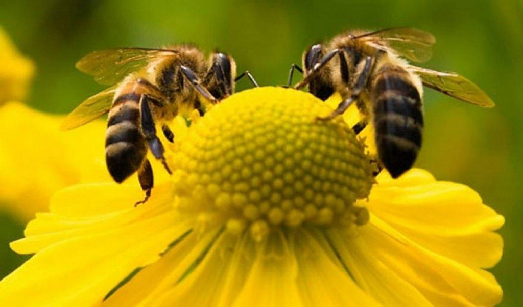 Pólen de abelha
